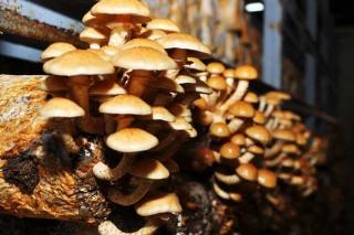 河北平泉:滑子菇定点出菇技术获得成功