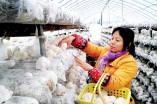 湖北赤壁牵手华中农业大学成功试种猴头菇