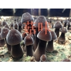 黑皮鸡枞菌出菇菌包 栽培技术