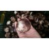 竹荪蛋 新鲜竹荪蛋鲜竹笙蛋、鲜竹菌蛋