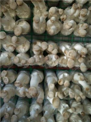 杏鲍菇网格
