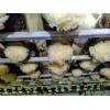 中国首家工厂化袋装银耳试种成功,寻求合作!