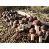 大球盖菇三级栽培菌种预定中