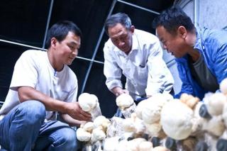 民乐利用玉米秸秆栽培猴头菇获成功