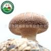 特级香菇批发 昌盛宝菇  优质鲜香菇 批发一件500kg起批