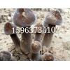 黑皮鸡枞菌菌种 鸡枞菌栽培技术 特色食用菌种植 金乡联盛菌业