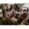 常年供應黑皮雞樅菌菌種 黑皮雞樅菌栽培技術 特色食用菌種植