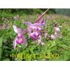 种植紫花三叉白芨过冬预防措施