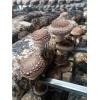 青岛公司求购香菇菌棒2KG,花菇菌棒(保水膜)3KG