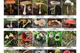 云南、东北、华南常见毒蘑菇种类权威发布