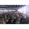 新鮮牛排菇,貴啡菇,香啡菇,大量生產供應
