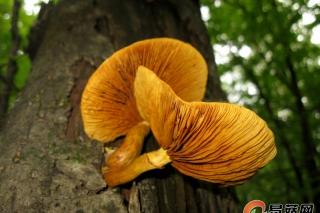 每周一菇毒蘑菇系列丨橘黄裸伞 Gymnopilus spectabilis (Fr.) Singer