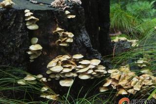 每周一菇毒蘑菇系列丨丛生垂暮菇 Hypholoma fasciculare (Huds.) P. Kumm.