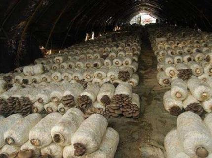 中华人民共和国平菇菌种国家标准