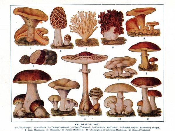edible-fungi600