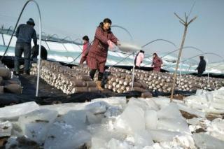 咸阳上百大棚因雪坍塌 中国人保赔付135万元 ()