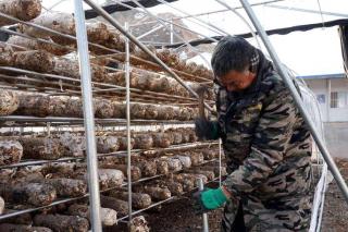 湖北十堰:雪后重建香菇大棚 ()