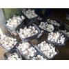 双孢菇生产销售厂家 口蘑生产基地