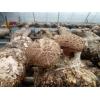山东青岛出口各国香菇菌棒、平菇菌棒、食用菌菌棒