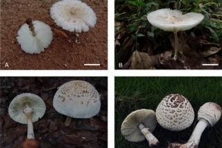 中科院昆植所在蘑菇科青褶伞属的系统演化研究方面取得新进展