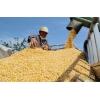 养殖场大量收购玉米碎米次粉淀粉薯粉麸皮油糠等饲料原料