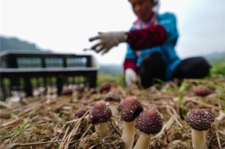 图文:贵州榕江大球盖菇种植助农增收