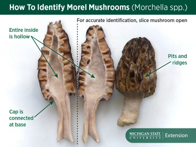 Morel_Mushroom_Identification_Facebook_1200<em></em>&#120;900