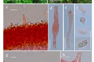 广东省微生物所李泰辉团队在丹霞山发现蘑菇新种——瘦脐菇