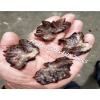 玛卡菌 玛卡菇 干品 玛咖菌批发玛卡菌是什么玛卡菌凉拌玛咖菌