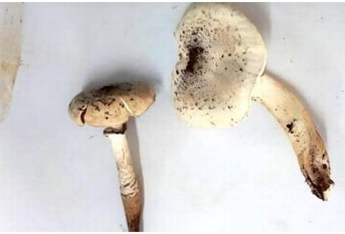 Pigment in Goa mushroom may help fight c