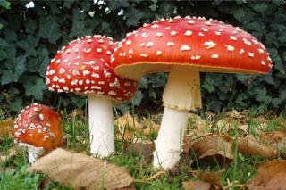"""科学家揭秘鹅膏属蘑菇如何成为""""毒王"""""""