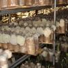 大量供应猴头菇干品鲜品猴菇粉