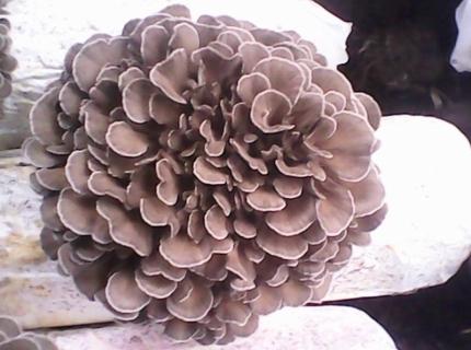 灰树花的营养价值