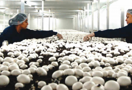 Mushroom farming: The agribusiness of th