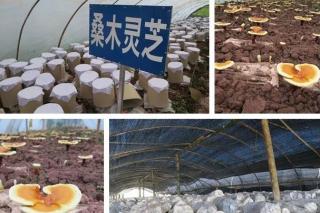 景东野生菌研发中心优化桑枝生产灵芝孢子粉生产工艺 ()