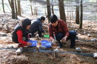 巧家县食用菌林下仿野生培育羊肚菌试验成功 ()