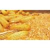 玉米收购商诚信收购玉米;汉江收购玉米现金结算