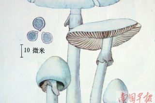 """高清:广西常见的十种剧毒蘑菇 别信""""鉴毒""""秘方 ()"""