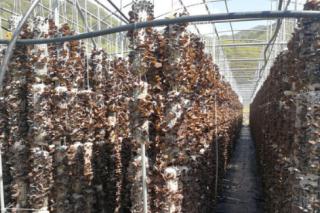 十堰成功引入黑木耳大棚吊袋立体栽培技术