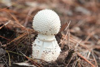 春季食用野生菌中毒原因及对策 ()