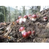 赤水·竹林赤松茸高山原生态竹林旅游城市种植