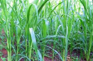 """中国菌草技术走进联合国:推动""""一带一路""""农业合作的重要实践"""
