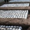 青岛黑皮鸡枞菌菌种批发优质栽培种常年供应种植技术免费提供