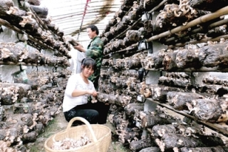 西峡香菇出口30多个国家和地区