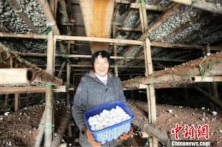 贫困县一农民发展食用菌产业 带动周边为农村致富增新翼 ()