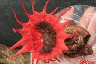 川南深山发现罕见红星头菌 长得很惊艳可惜又臭又有毒 ()