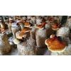 菌种菌棒betvlctor伟德,灵芝,白平菇,秀珍菇,榆黄菇等品种