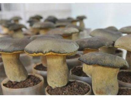 作为与松露、松茸、羊肚菌齐名的四大菌王之一,牛肝菌究竟有多厉