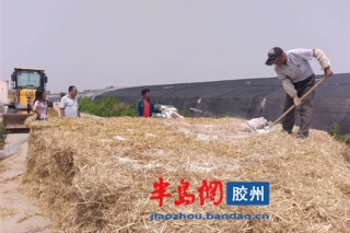 山东胶州用麦秸秆种草菇 益菇园又育新品种 ()
