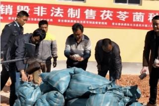 景谷破获违规制售茯苓菌种案件  种植茯苓必须确保木材来源合法 ()